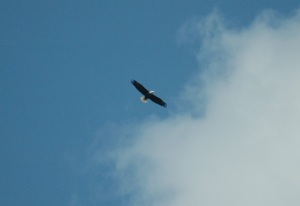 Adult Bald Eagle over the West  Branch of the Susquehanna near Sunbury, PA