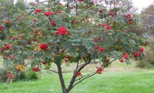 "A Rowan Tree, ""like a lipsticked girl."""