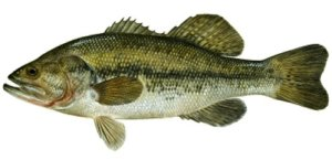 largemouth_bass1